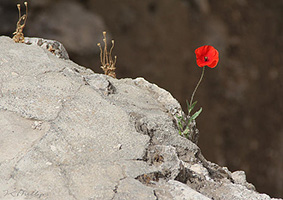 flower by the Pool of Bethesda in Israel  by Jennifer Phillips
